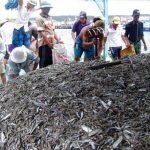 đến thăm Làng nghề truyền thống cá cơm ở phú quốc