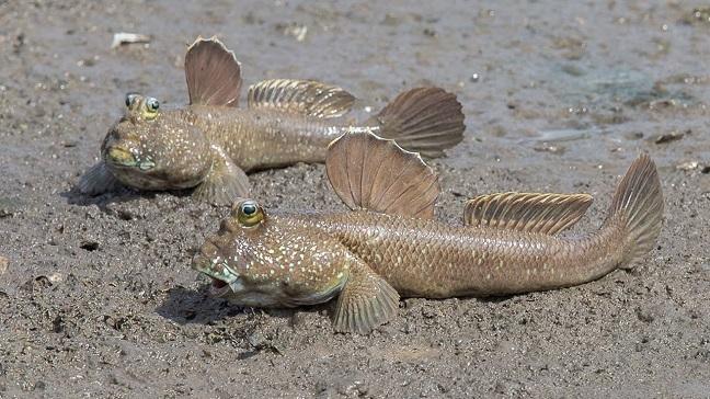cá thòi lòi cà mau