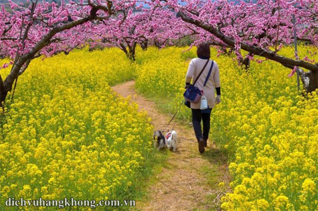 mua hoa cai o nhat ban Dịch Vụ Hàng Không